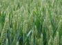 Rynek zbóż w kraju (5.01.2020)