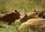 Mniejszy skup bydła