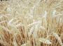 Za nami kolejny wzrostowy tydzień na giełdowym rynku zbóż i soi