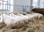 Ceny żywca wołowego, wieprzowego i drobiowego (05.05.2019)