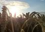 Rynek zbóż w kraju (13.09.2020)