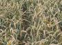 Ceny zbóż na giełdach towarowych (29.07.2018)