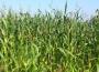 Notowania zbóż i oleistych. Niewielkie wzrosty na na zamknięciu wtorkowej sesji (28.03.2017)