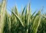 Ceny zbóż w Polsce. Żyto i kukurydza drożeją