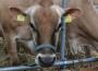 Spadek skupu bydła