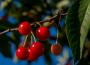Polskie czereśnie, truskawki, maliny, borówki amerykańskie i agrest w tym samym czasie