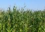 Notowania zbóż i oleistych. Pszenica w USA drożała drugi dzień z rzędu (6.08.2015)