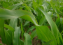 Niewielkie zmiany notowań zbóż i oleistych