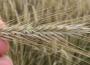 W 2016 r. ceny zbóż były niskie, choć stabilne. W pierwszej połowie 2017 r. nie powinny znacząco zmieniać się