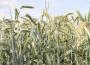 Ceny zbóż na giełdach towarowych (7.04.2019)