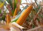 Komisja Europejska obniża oczekiwne plony kukurydzy