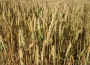 Amerykańska pszenica w górę, a pozostałe kontrakty w dół