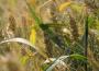 Ceny zbóż w kraju