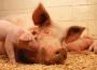 Wzrost cen wieprzowiny w Polsce i UE