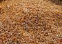 Wzrost prognoz zbiorów kukurydzy na świecie