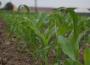 Podsumowanie tygodnia na giełdowym rynku zbóż (17-21.10.2016)