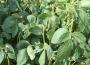 Soja i kukurydza tanieją w Chicago, a unijna pszenica i rzepak skorygowały ostatnie wzrosty