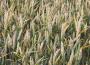 Ceny zbóż na giełdach towarowych (28.06.2020)
