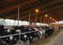 Pogłowie bydła wzrosło do prawie 6 mln szt.