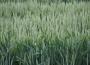 Kontrakty na pszenicę i oleiste odbiły lekko w górę na zamknięciu wtorkowej sesji
