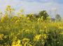 Notowania zbóż i oleistych. Rzepak z rocznym maksimum, soja i pszenica w USA w górę (20.04.2015)