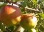 Ceny jabłek i gruszek w Polsce (10.01.2017)