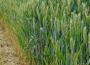 Ceny zbóż na giełdach towarowych (10.10.2021)