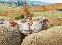 D. Zawadzka: Zmniejszenie pogłowia maciorek można traktować jako sygnał nadchodzącej spadkowej tendencji ogólnego pogłowia owiec