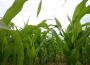 Drożeje kukurydza