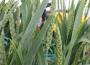 Notowania zbóż i oleistych. Dalsze wzrosty na giełdowym rynku zbóż (22.05.2017)