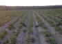 Susza dotknęła uprawy roślin strączkowych, ziemniaków i krzewów owocowych