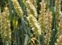 Ceny zbóż na giełdach towarowych (5.01.2020)