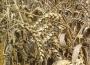 Notowania zbóż i oleistych. Przecen na giełdowym rynku zbóż ciąg dalszy (23.08.2016)