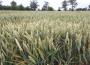 Notowania zbóż i oleistych bez większych zmian (29.09.2016)