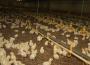 Utrzymuje się silna wzrostowa dynamika produkcji mięsa drobiowego