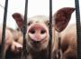 Ceny skupu świń rzeźnych (21.02.2021)