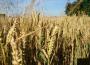Słabe tempo eksportu unijnej pszenicy utrzymuje się od początku sezonu