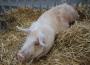 Ceny skupu świń rzeźnych (19.07.2020)