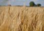 Ceny zbóż na giełdach towarowych (21.07.2019)