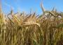 Rynek zbóż w kraju (28.10.2018)