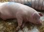 Ceny skupu świń rzeźnych (26.07.2020)