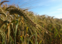Wyższe zbiory głównych ziemiopłodów rolnych