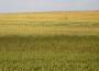 Wyceny zbóż wzrosły mocno za oceanem pod wpływem zagrożeń pogodowych