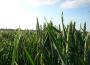 Ceny zbóż w kraju rosną