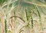 Ceny zbóż na giełdach towarowych (21.06.2020)