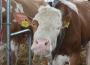 Ceny żywca wołowego, wieprzowego i drobiowego (28.07.2019)