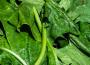 Choroby warzyw – mączniak rzekomy szpinaku