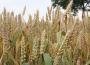 Rynek zbóż w kraju (06.01.2019)