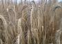 Rynek zbóż w kraju (11.10.2020)