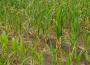 IUNG stwierdził wystąpienie suszy rolniczej